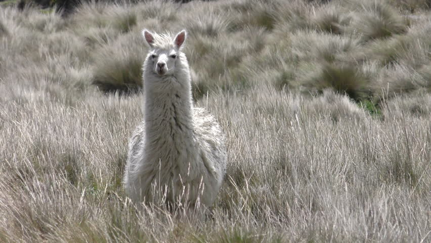 Wild Lama Camelid In Andes Highlands Staring At Camera , Slow Motion