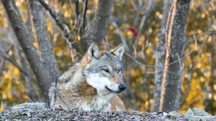 4K UHD - Gray Wolf (Canis lupus) closeup of head while howling