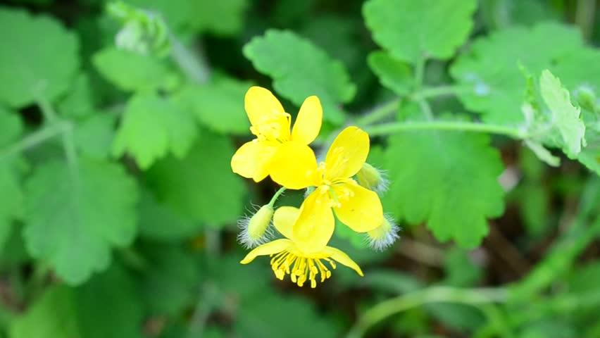 Chelidonium majus fluffy yellow flower stock footage video 100 fluffy yellow flower of greater celandine swaying blown by wind in spring greater celandine is a medicinal herb used in both traditional pharmacology and mightylinksfo