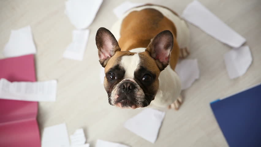 A domestic pet has taken on a home. Torn documents on white floor. Pet care abstract photo. Small guilty dog with funny face.