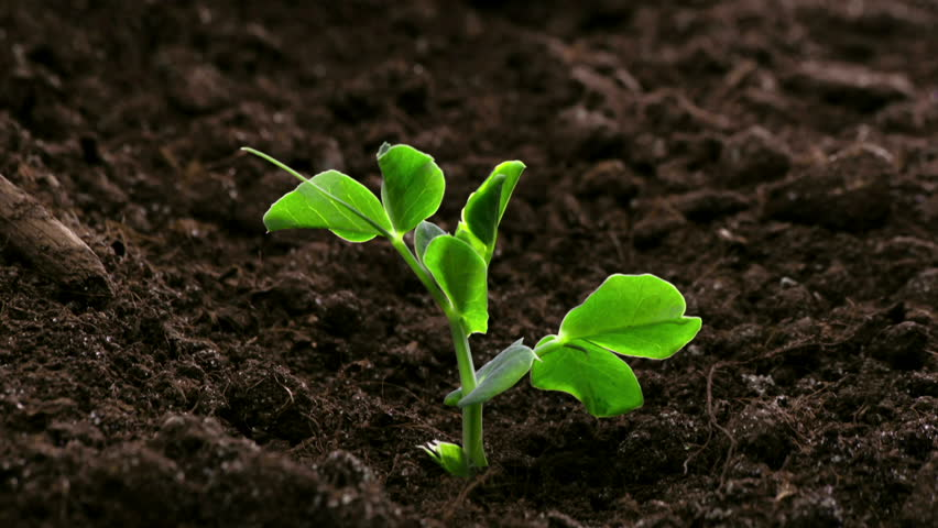 Growing Plants Timelapse Pea Sprouts Germination  | Shutterstock HD Video #1006564060