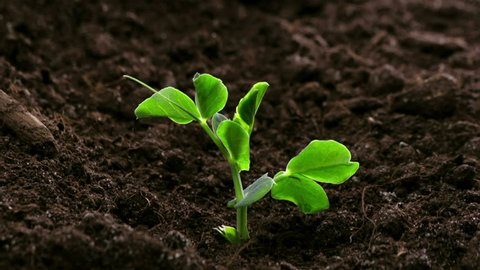 Growing Plants Timelapse Pea Sprouts Germination