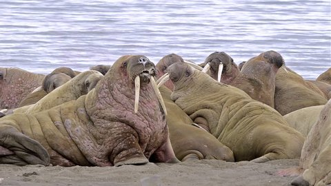 CIRCA 2010s - Walrus with giant tusks gather on a beach in the Arctic.
