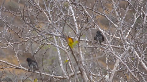GALAPAGOS ISLANDS, ECUADOR - CIRCA 2010s - Charles Darwin finches sit in a tree in the Galapagos Islands, Ecuador.
