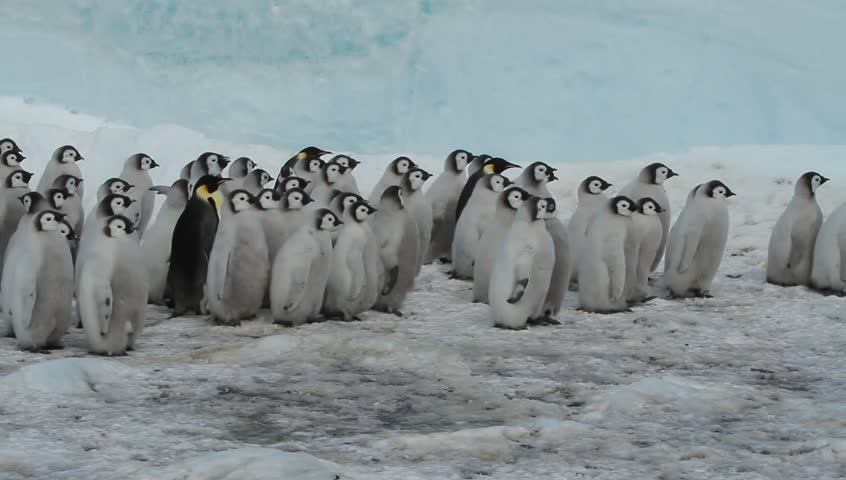 Almost adult Chicks the Emperor penguin(aptenodytes forsteri)colony on the sea ice of the archipelago Haswell in the Davis sea,Eastern Antarctica