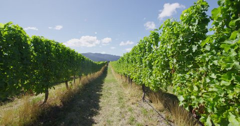 Vineyard - grape vines for wine making of Red wine or Rose wine. Countryside farm fields showing viticulture.