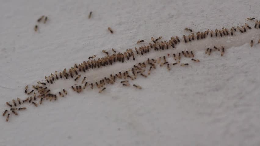 Timelapse of Pharaoh Ants consuming poison bait to eliminate domestic infestation