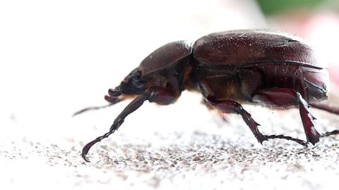 Female Rhinoceros Beetle at Laos. Big brown beetle crawl on white wall. Horizontal view at fall down beetle from white facade.