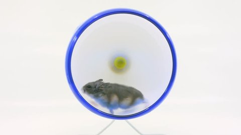Indecisive hamster runs in wheel then changes direction on a white background.
