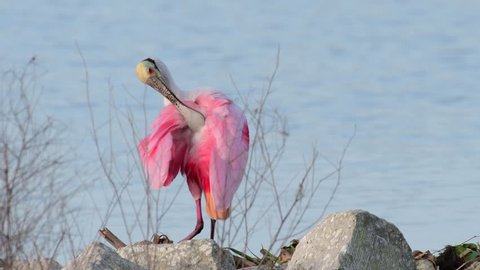 A mature breeding roseate spoonbill preening its pink feathers