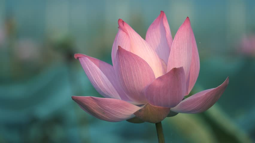 Royalty high quality free stock footage of a lotus flower. The background is the lotus leaf and pink lotus flowers and lotus bud in a pond