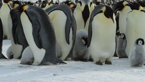 Emperor penguins with Chicks(aptenodytes forsteri)colony on the sea ice of Davis sea,Eastern Antarctica