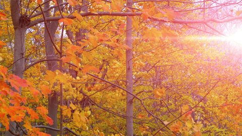 Red Maple Trees. Fall Autumn Forest Nature Background