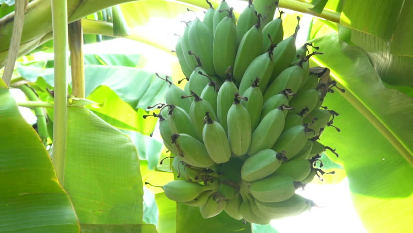 banana tree A banana tree with a large harvest of green bananas surrounded by tropical foliage.