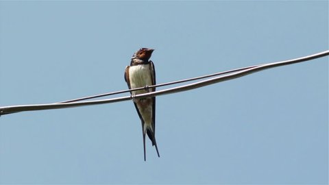 The swallow sings on the wire,in the spring, one swallow on the wire chirp
