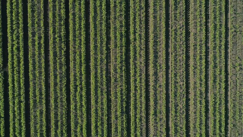 Aerial / Drone View Of Beautiful Farmland Crop Ready To Go To Harvest