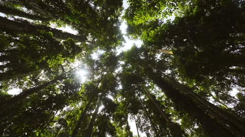 Looking Up to the Sky Between Giant Tropical Trees in Rainforest. 4K.