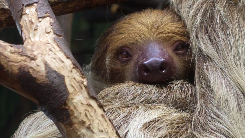 Sloth looking into camera (Choloepus didactylus) | Shutterstock HD Video #1007234440