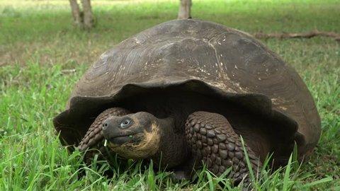 Galapagos tortoise eating grass