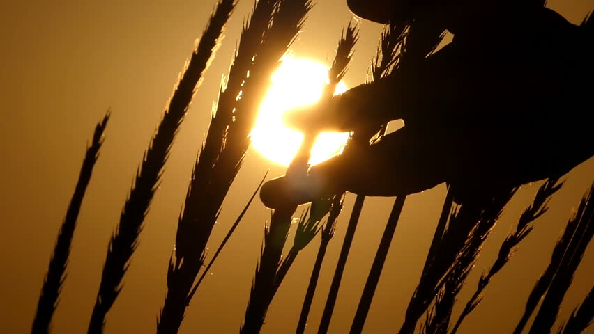 Spikelets of wheat swaying in the field at sunset   Shutterstock HD Video #1007291710