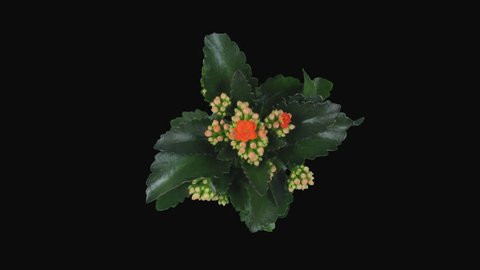 Time-lapse of opening orange kalanchoe flower 1x1 in PNG+ format with ALPHA transparency channel isolated on black background, top view