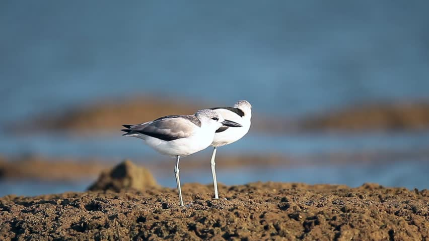 Closed up Crab plover (Dromas ardeola), angle view, it's rare and haven't been for many years to Thailand, this migrant, Laem Pakarang (Coral Cape), Khao Lak, Phang nga, the Southern of Thailand.