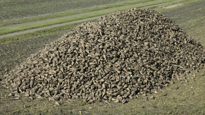 The harvest of sugar beet. Huge pile of fresh harvested tubers of sugar beet in front of harvested field. 4K