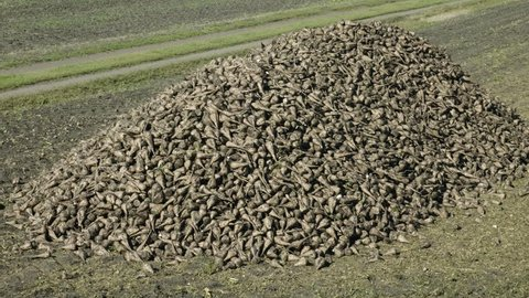 The harvest of sugar beet. Huge pile of fresh harvested tubers of sugar beet in front of harvested field. 4K