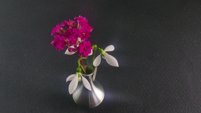 Blooming pink, flower kalanchoe and snowdrop. Rotating movement.