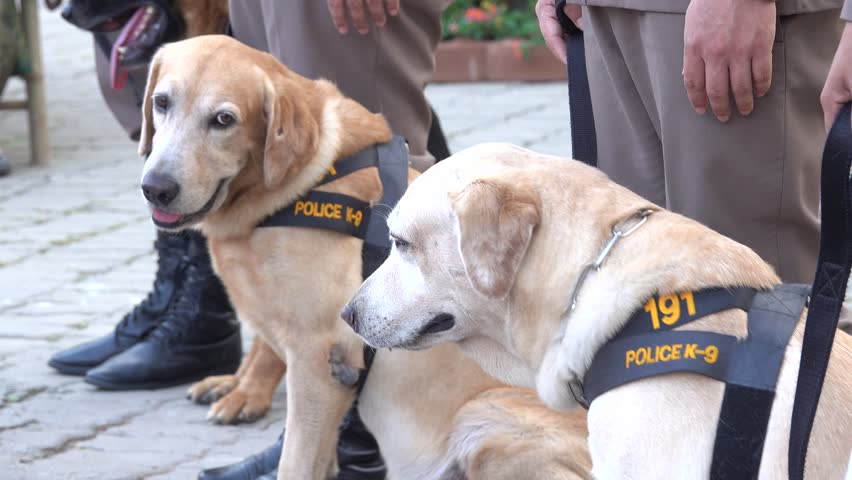 4K Labrador Dog Police K9