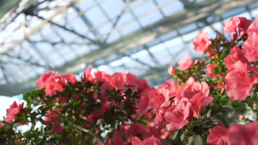Rododendron Flowers Blossom in Greenhouse Bush Full of Purple Azalea Buds and Flowers