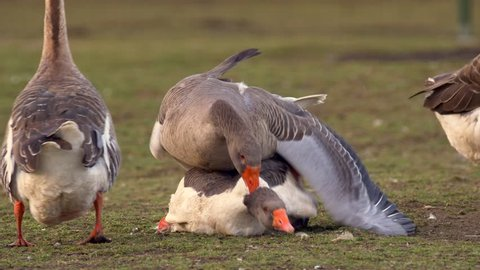 Goose sex with female