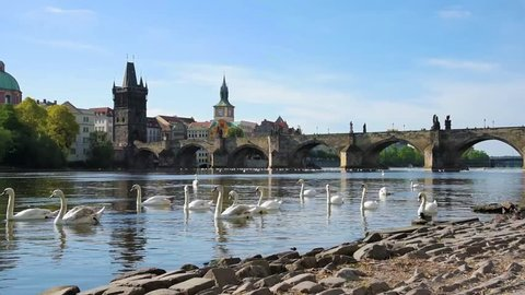 Magical beautiful landscape with white swans at Vltava near the Charles Bridge in the old city of Prague, Czech Republic.