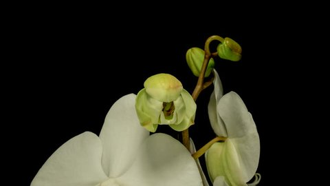 Timelapse of white Orchid flower blooming on black background