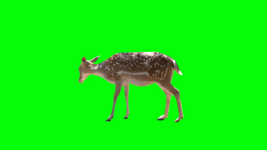 4K Deer Gazelle on Green Screen chroma key alpha Walking and eating grass deer looking around animal park zoo. Key green matte deer.  Ready to key.