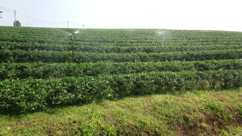 Green Tea Plantation field with Springer Watering before midday