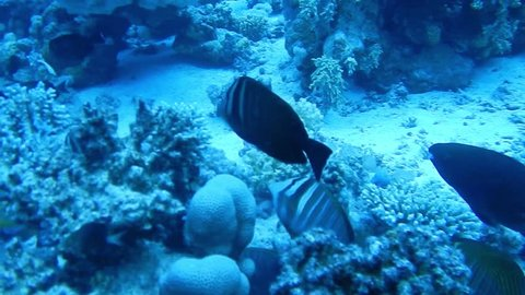 Coral reef, tropical fish. Warm ocean and clear water. Underwater world. Diving and Snorkelling. Coral reef and beautiful fish. Underwater life in the ocean. Tropical fish on coral reefs. S