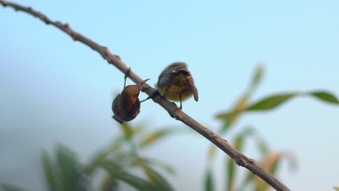 Olive-backed Sunbird also known as the yellow-bellied sunbird, Feeding and pushed chick for first flight out of nest.