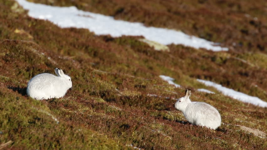 mountain hare, Lepus timidus, winter coat, moult against heather fighting, sitting and running on a mountain in the cairngorms national park, scotland, mad march