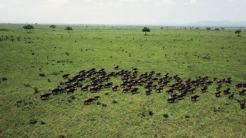 Aerial flight over buffalo stampede in Tanzania safari Mikumi