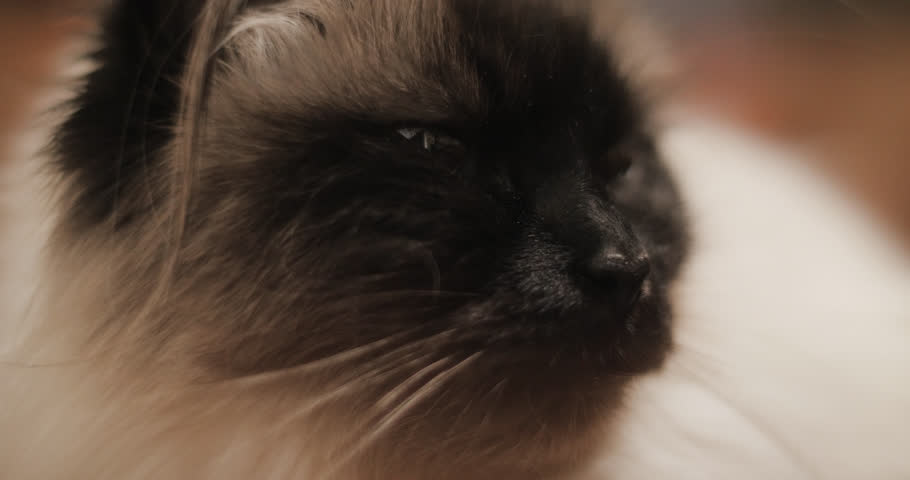 Profile of resting ragdoll cat in extreme close up