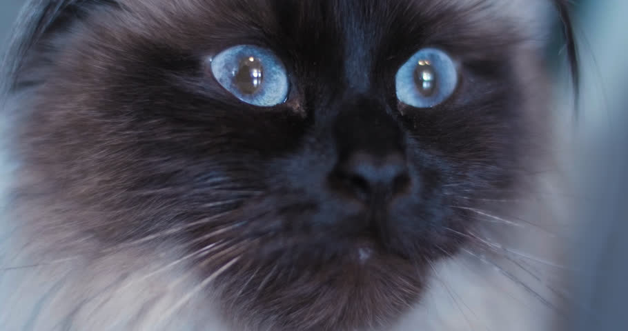 Extreme close up of alert ragdoll cat with blue eyes