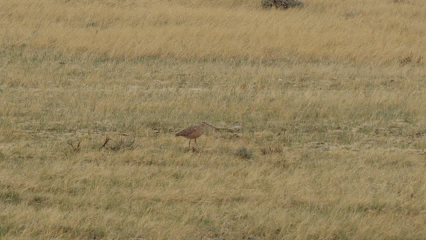 Two long billed curlews with curved bills walk around in grassy area #1007959210