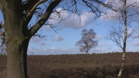 Solitary birch tree in Veluwe heathland. The Veluwe is the largest push moraine complex in the Netherlands.