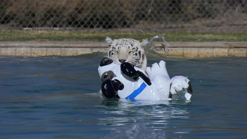 white tiger in zoo treats infatable toy like real prey in water
