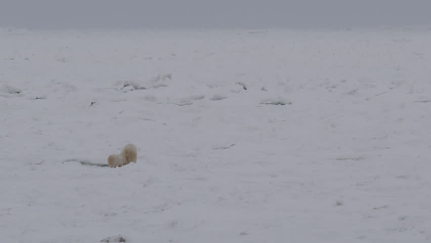 Polar bear and cub walk through broken up sea ice in far north
