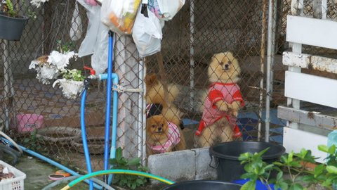 Three purebred little dogs bark viciously behind the fence of the grid in a cage on the street. Japanese Chihuahua. Thailand