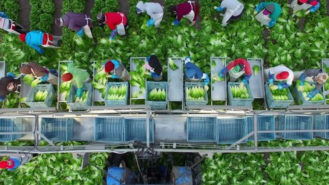 Bird's Eye aerial drone shot of a field romaine lettuce with farmers picking and sorting in Central Mexico