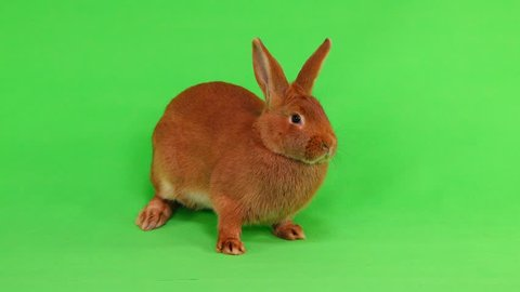 rabbit ( six months) on green screen