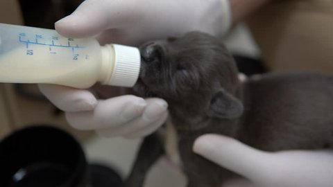 puppy was feeding milk by professional vet, wearing gloves